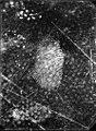 Fingerprints on oil cloth, Jost Grand-Chêne robbery case in Lausanne, Vaud.jpg