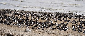 Firth of Thames, Seabirds at the Beach of Thames.jpg