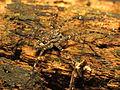 Fishing Spider (14216374210).jpg
