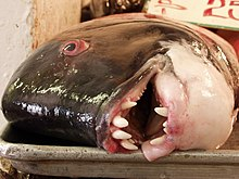 California sheephead - WikipediaSaltwater Sheepshead Fish Good To Eat
