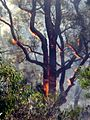 Flaming tree 2 - Flickr - Highway Patrol Images.jpg