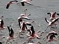 Flamingoes flying 08.jpg