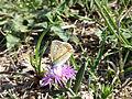 Fleur sauvage et papillon (3).JPG