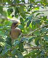 Flickr - Dario Sanches - SABIÁ-POCA (Turdus amaurochalinus).jpg