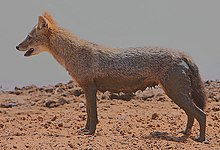 Flickr - Rainbirder - Golden Jackal Female.jpg