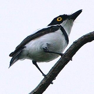 Senegal batis Species of bird