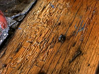 Common furniture beetle - Woodworm holes and burrows exposed in wooden floorboard