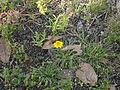 Flor amarilla con tonos naranja del Parque Ecológico de la Ciudad de México.JPG