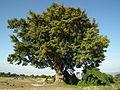 Flora of Tanzania 3914 Nevit.jpg
