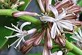 Flower of Dracaena fragrans (cropped).JPG