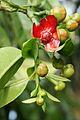 Flower of Garcinia atroviridis.JPG
