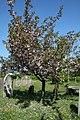Flowering Cherry - geograph.org.uk - 419059.jpg