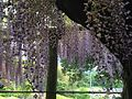 Flowers of wisteria in Kawachi Wisteria Garden 20150509-5.JPG