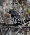 Forest Owlet Athene blewitti by Dr. Raju Kasambe DSCN5055 (9).jpg