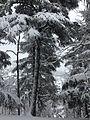 Foret des Cèdres Parc National de Theniet el Had (El-Meddad) 16.JPG