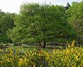 Frühling mit Ginsterblüte in der Wahner Heide.jpg