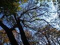 Fraxinus angustifolia (5).JPG