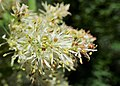 Fraxinus ornus kz04.jpg