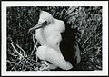 Fregata minor (Great Frigatebird) 50 days old, on Christmas Island (Kiritimati), Kiribati, 1967. (9395427998).jpg