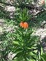 Fritillaria imperialis sl8.jpg