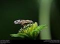 Fruit fly (Diptera, Tephritidae) (30561642981).jpg