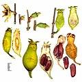 Fruit ripening of Chimonanthus praecox.jpg