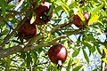 Fruit trees עצי פרי (42).JPG