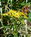 GT Comma on Ragwort.jpg
