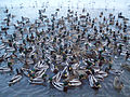 Gaggle of ducks 5.jpg