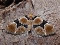 Gagitodes sagittata - Marsh carpet - Ларенция василистниковая (26078571247).jpg