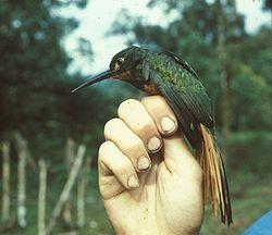Galbula pastazae (female)-NBII Image Gallery-a00279.jpg
