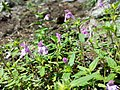 Galeopsis ladanum s. str. sl4.jpg