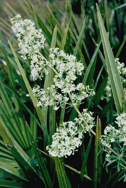 Galium litorale