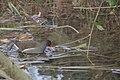 Gallinule poule d'eau (Gallinula chloropus) - 6030.jpg
