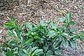Gardenia augusta Vietnam Snowflake 1zz.jpg