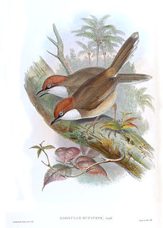 Rufous-crowned laughingthrush species of bird