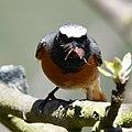 Gartenrotschwanz, Common redstart, phoenicurus phoenicurus, mit Futter.jpg