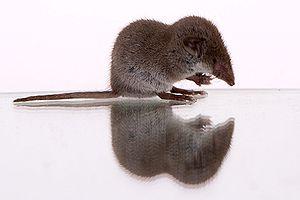 Lesser white-toothed shrew - Image: Gartenspitzmaus