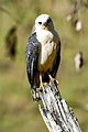 Gavião-pombo-pequeno (Amadonastur lacernulatus) - White-necked Hawk.jpg