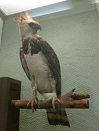 Gavião-real (Harpia harpyja) - Museu Nacional-RJ.jpg