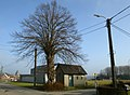 Geknotte linde als grensboom te Zwalm - 372659 - onroerenderfgoed.jpg