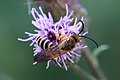 Gelbbindige Furchenbiene Halictus cf. scabiosae male 3320.jpg