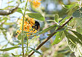 Gelber Schmetterlingsflieder (15815409302).jpg