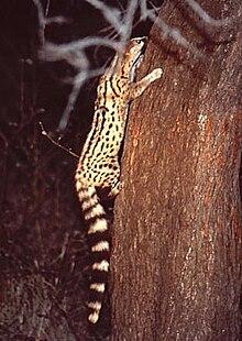Genetta angolensis.jpg