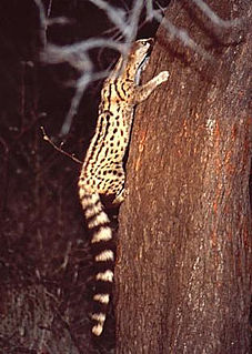 Angolan genet Species of mammal