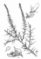 Genista madoniensis.png