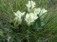 Gentiana frigida-flowers