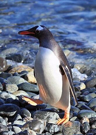 Pygoscelis - Image: Gentoo Penguin at Cooper Bay, South Georgia