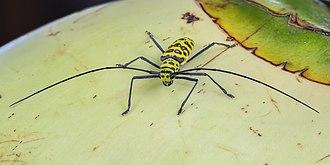Longhorn beetle - Gerania bosci