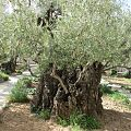 Gethsemane, Mount of Olives in Jerusalem 05.jpg